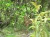 dikdik in underbrush