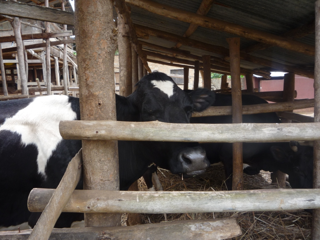 silagra price in save your time and money cross bred cows