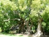 camphor trees - 300 years old
