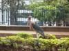 marabou stork - downtown