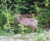 deer near entrance to Mont Tremblant