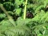tree fern bud