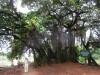 150 year old banyon