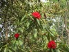 national tree of Nepal